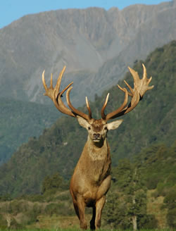 Deer Antler Velvet Red Deer